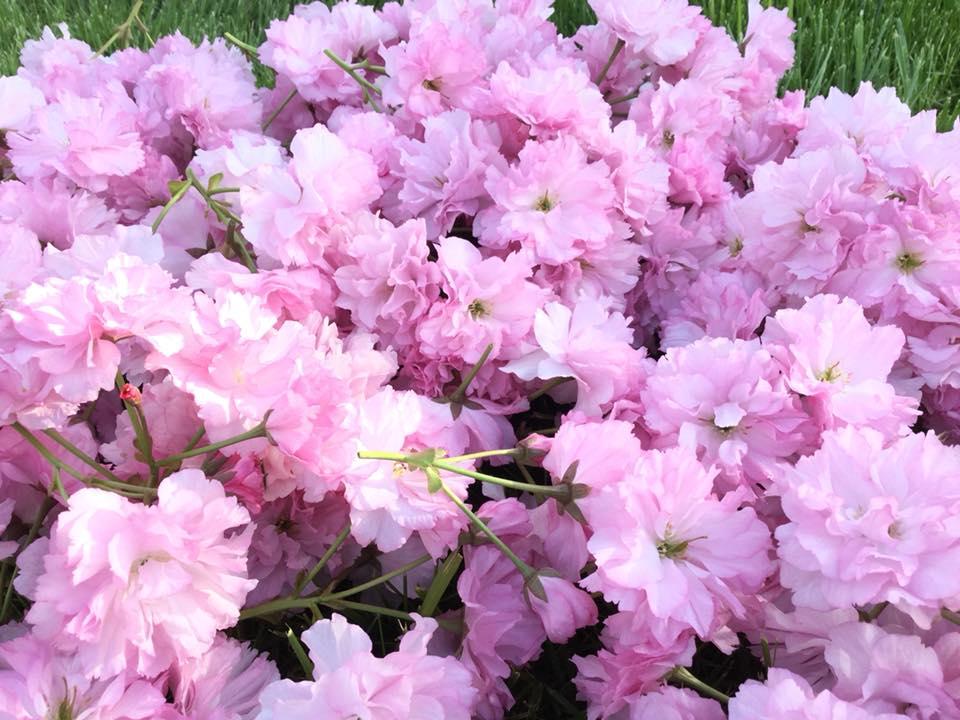 cách làm hoa anh đào muối cách làm hoa anh đào muối Cách làm hoa anh đào muối truyền thống đậm đà hương vị Nhật cach lam hoa anh dao muoi 12