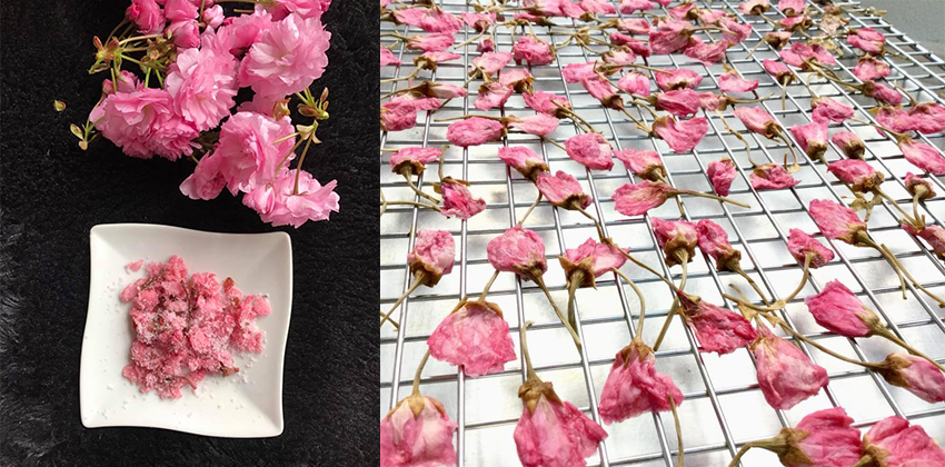 cách làm hoa anh đào muối cách làm hoa anh đào muối Cách làm hoa anh đào muối truyền thống đậm đà hương vị Nhật cach lam hoa anh dao muoi 1f
