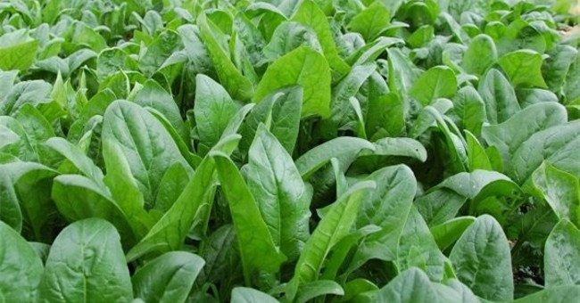 rau spinach là rau gì - rau cải bó xôi