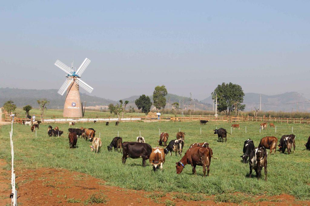 Đồng cỏ xanh - Bò hạnh phúc - Sữa Anchor tuyệt tươi