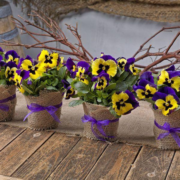 công dụng vá cách bảo quản hoa pansy - trang trí công dụng và cách bảo quản hoa ăn được Công dụng và cách bảo quản hoa ăn được – hoa pansy 3825a525543ba5f705f48c76b0634b3b