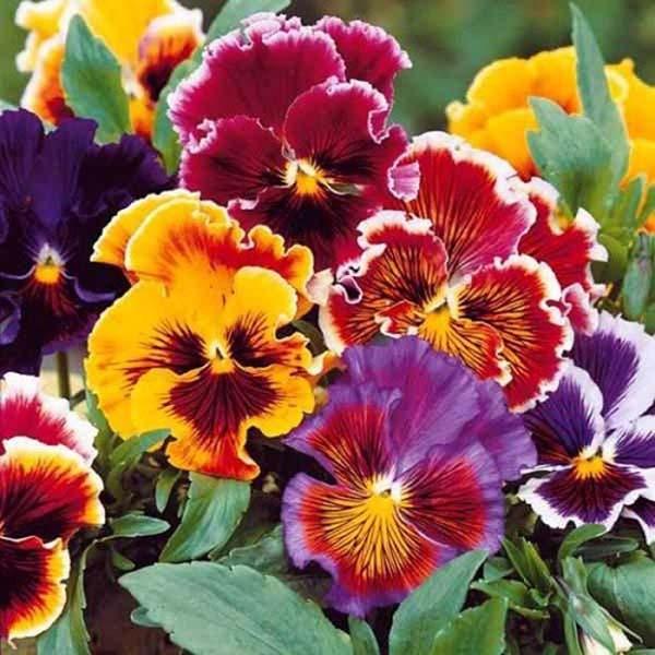 công dụng và cách bảo quản hoa ăn được công dụng và cách bảo quản hoa ăn được Công dụng và cách bảo quản hoa ăn được – hoa pansy hoa pang xe 8